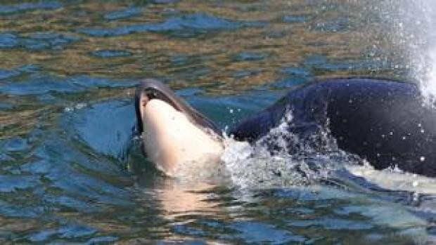 Mother whale seen support dead calf