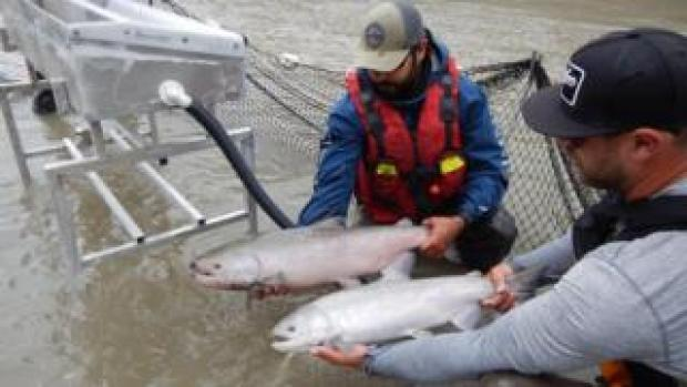 Teams inspect a Chinook Salmon