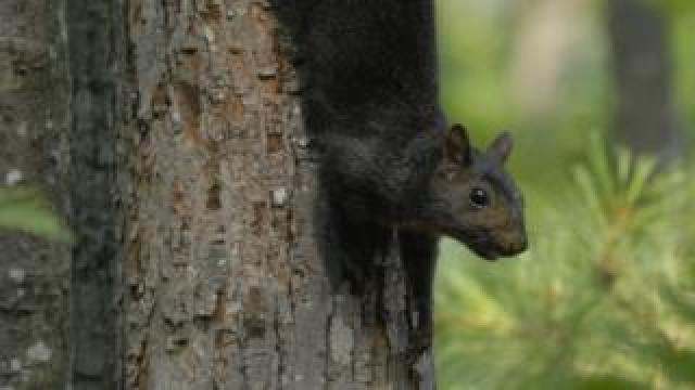 A melanic or black grey squirrel