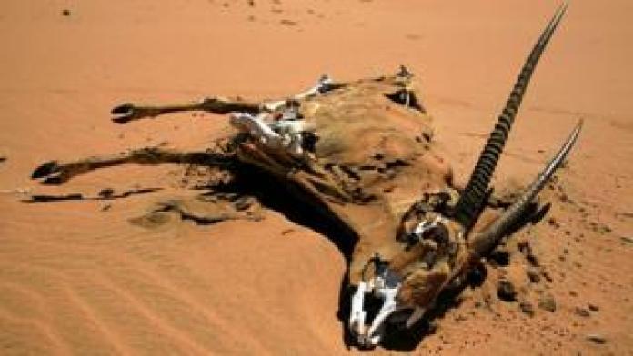 A dead oryx, dead gemsbok, Namib Desert, Namibia