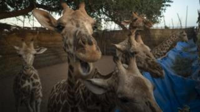 Giraffes in an enclosure as they await transportation to their new home.