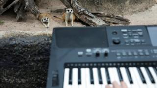 Meerkats enjoying the music.
