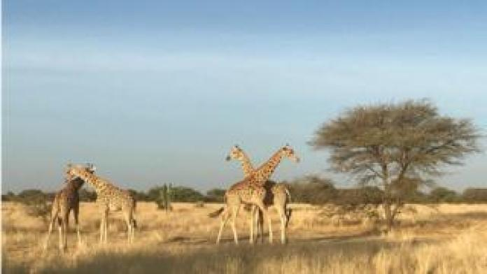 The captured giraffes are pictured in their new home.