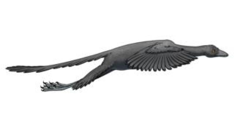 Artist's representation of Archaeopteryx in flight