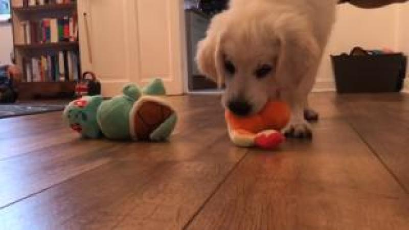 A puppy playing with toys