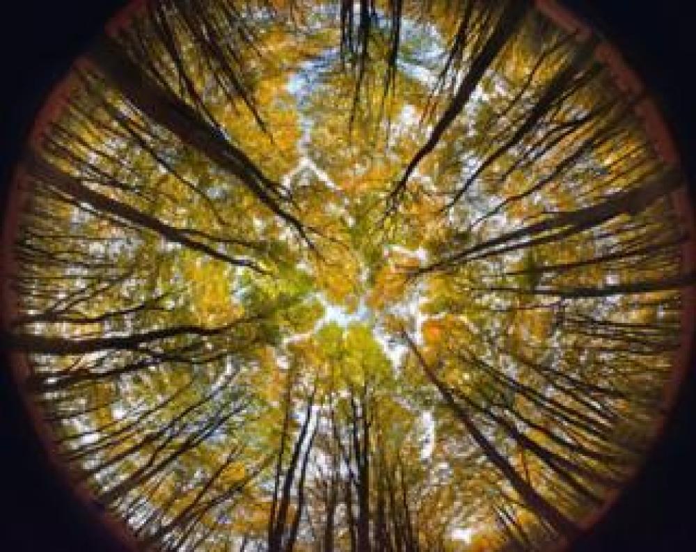 trump Tree canopy