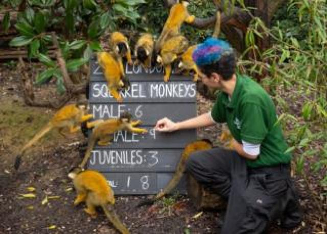 Zookeeper Rowan Swainson counts squirrel monkeys