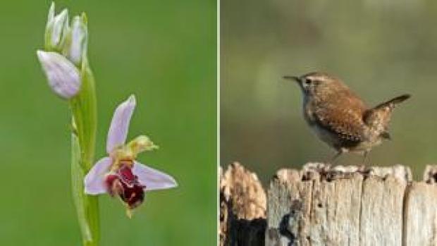 Bee orchid (left); wren (right)