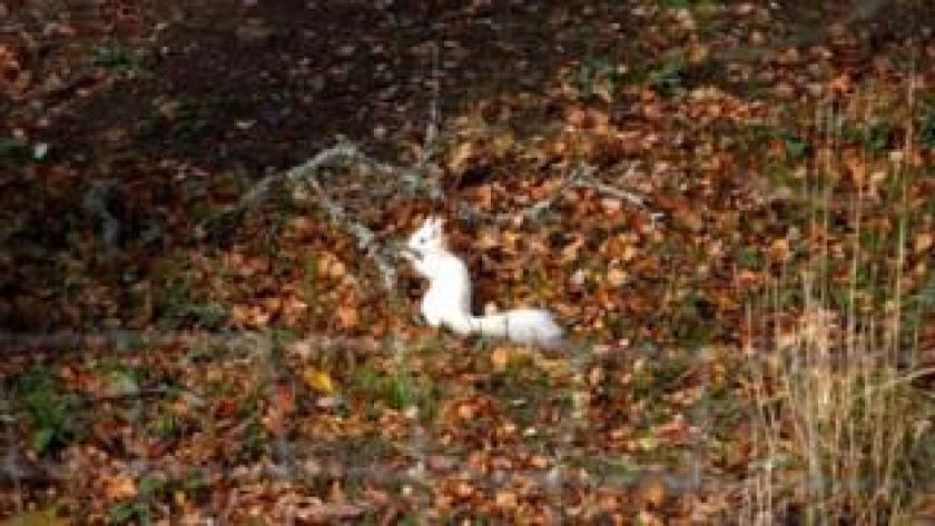 White red squirrel
