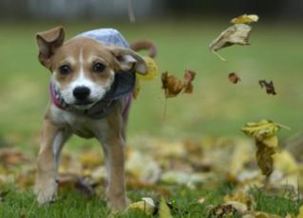 Jessie the puppy rolls around in leaves in Glasgow