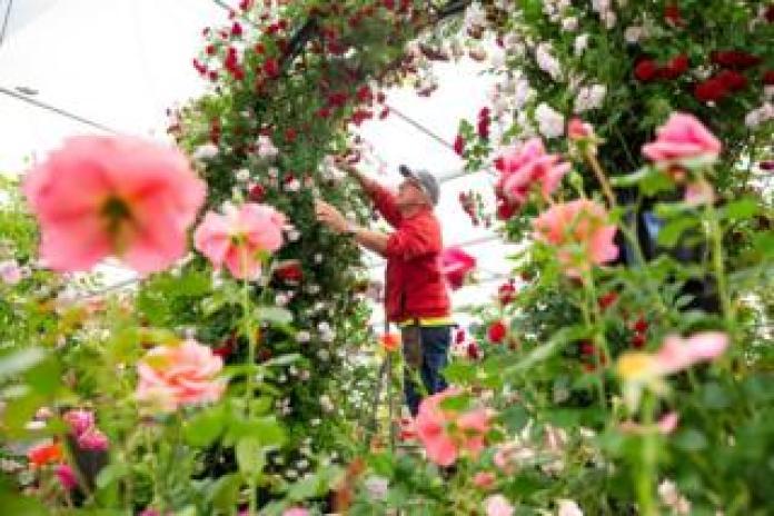A gardener trims an arch of flowers