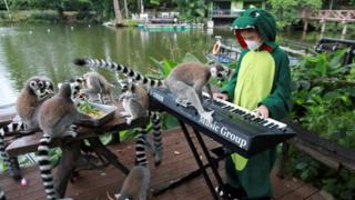 Seenlada plays keyboard for lemurs.
