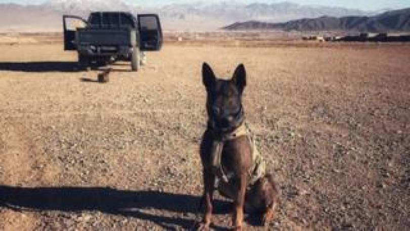 Military dog Kuno