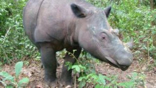 Rosa who lives at the Sumatran Rhino Sanctuary, is one of less than 100 Sumatran rhinos left in the world