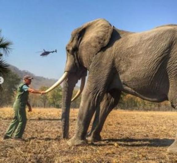 A man holding the tusk of an elephant which had been tethered for conservation reasons, posted to the Duke of Sussex's Instagram account