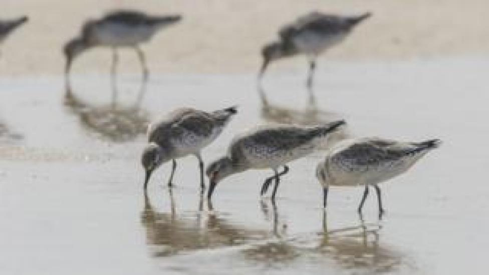 Foraging red knots in Mauritania