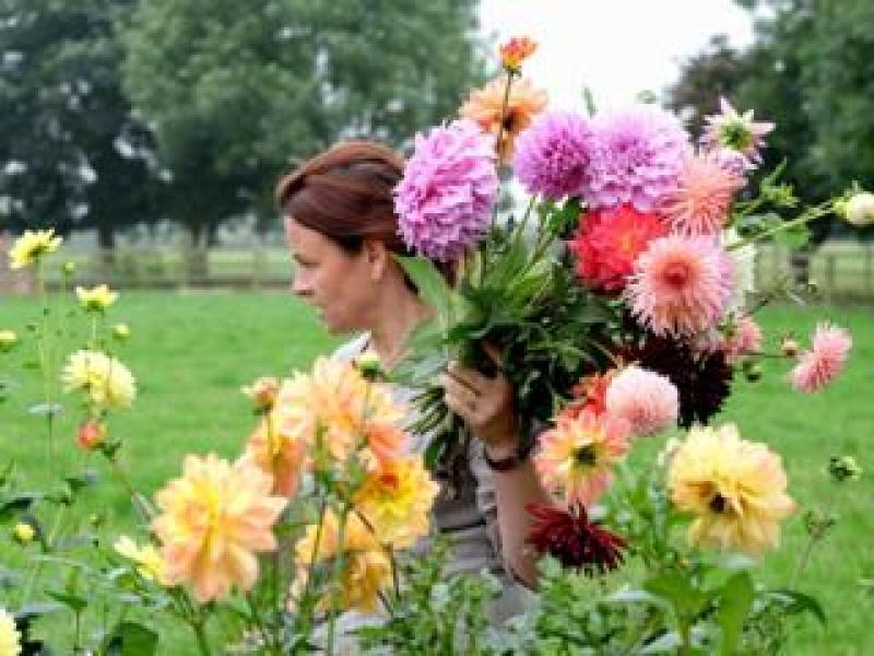 Dahlias, Holme Flowers, North Yorkshire