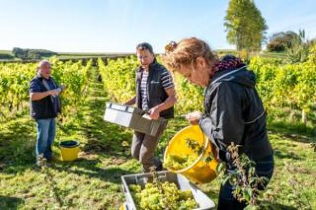 Volunteers take part in the annual harvest at Breaky Bottom vineyard in Lewes
