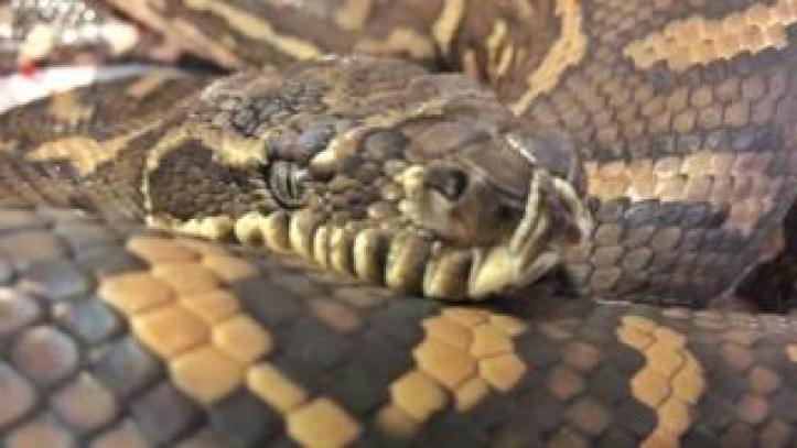 A close-up of Nike the carpet python