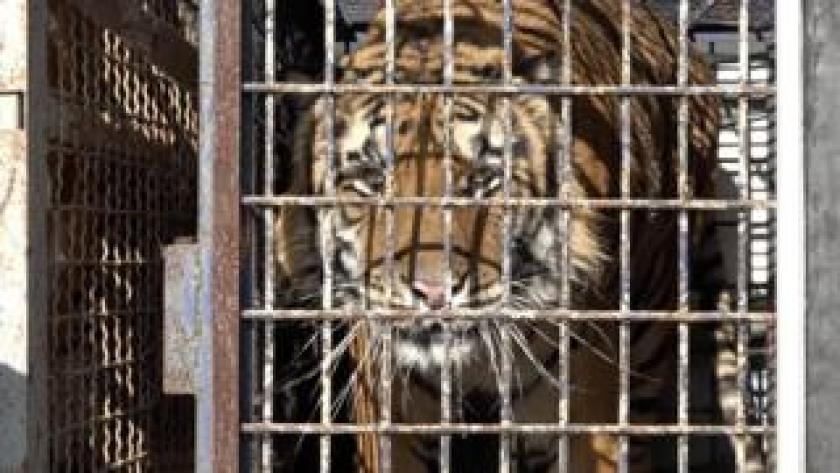 One of the tigers pictured in a cage