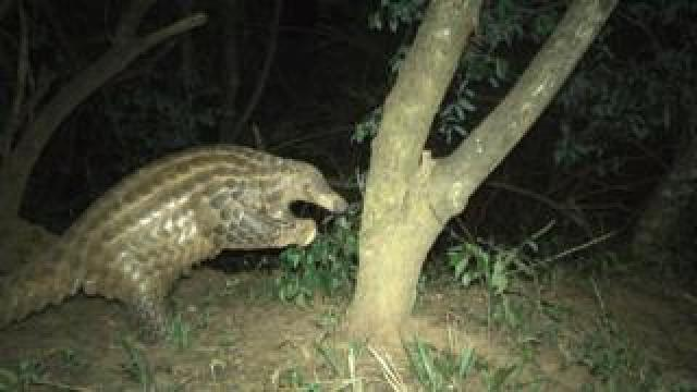 The rare giant pangolin is being studied to boost its survival chances