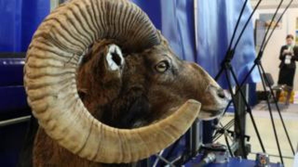 trump A stuffed head of an argali, or the mountain sheep, on display