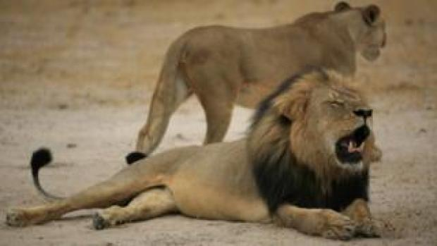 Handout photo of Cecil the lion in 2012