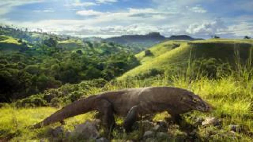 NEWS Komodo dragons
