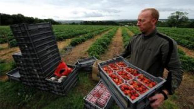 Strawberry pickers in Northumberland