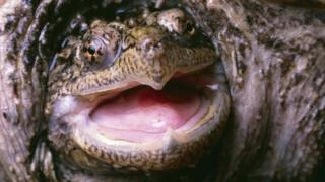 Snapping turtle, file image