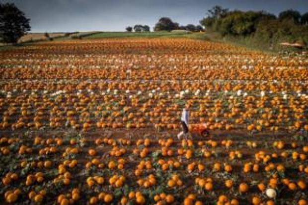 A customer is seen in a pumpkin patch run by Maxyes Farm Shop, Kirklington, Nottinghamshire
