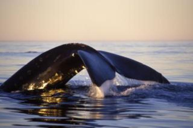Northern right whale in Bay of Fundy
