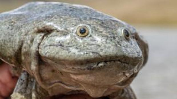 Close-up of a Lake Titicaca giant frog courtesy of Bolivia's Natural History Museum
