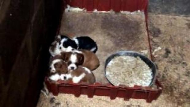 Puppies huddled together at a Carmarthenshire puppy farm filmed by a BBC undercover reporter