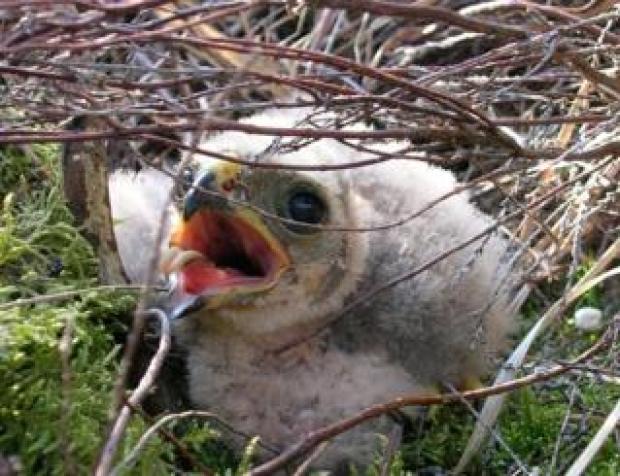 Hen harrier chick