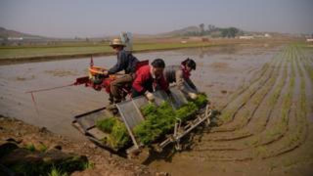 People plant rice in North Korea