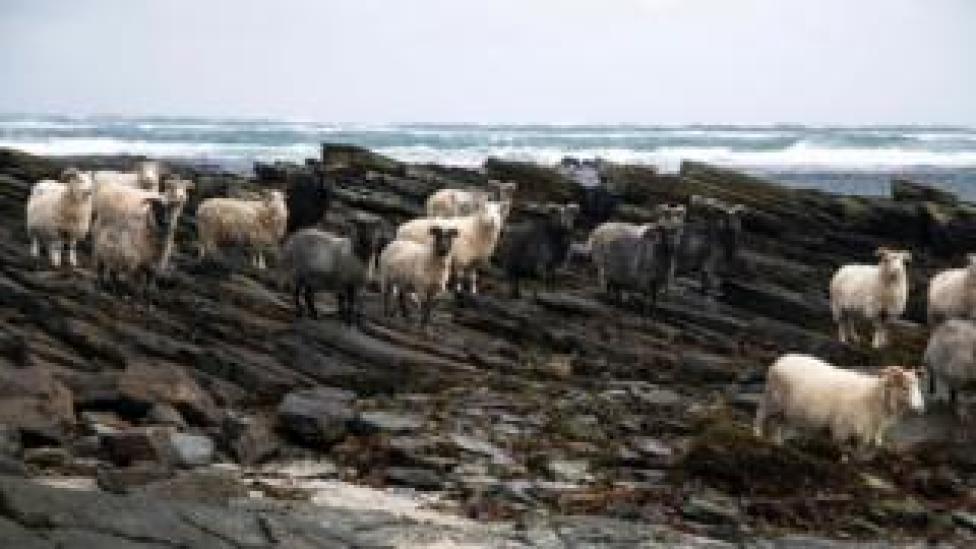_107408635_sheeporkneyorkneypics Dyke expert needed for North Ronaldsay's seaweed-eating sheep