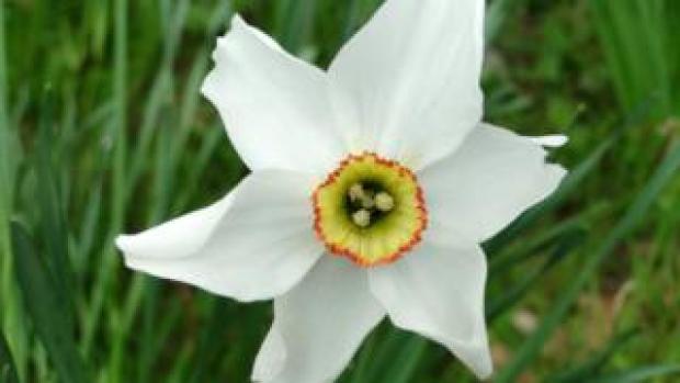 Pheasant's eye daffodil