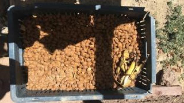apricot seeds for recycling