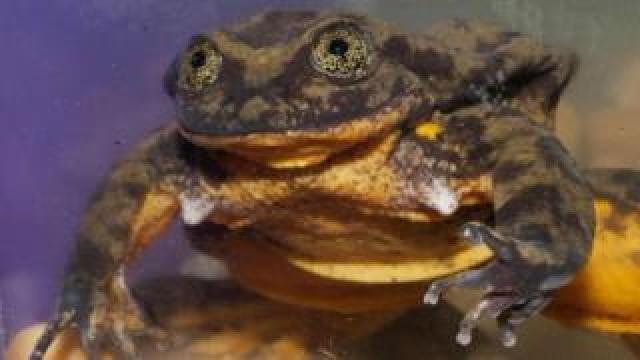 """This handout picture obtained from Global Wildlife Conservation on February 9, 2018 shows a Sehuencas water frog (Telmatobius yuracare) named """"Romeo"""" kept in a tank at the Natural History Museum in Cochabamba, Bolivia."""