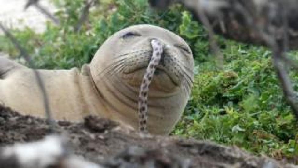 Un jeune phoque hawaïen juvénile a été retrouvé avec une anguille maculée dans le nez à la frégate française Shoals, au nord-ouest des îles Hawaii, l'été dernier.
