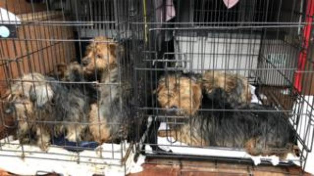 Photo of six rescued Yorkshire Terriers in their crates