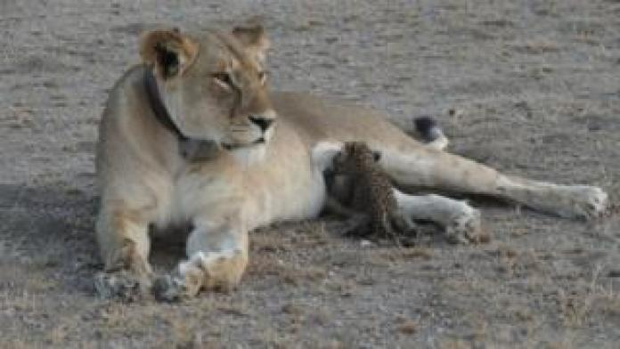 A leopard cub is seen suckling on a lioness in the Ngorongoro Conservation Area, Tanzania, in this handout picture released on 14 July. The lioness, known locally as