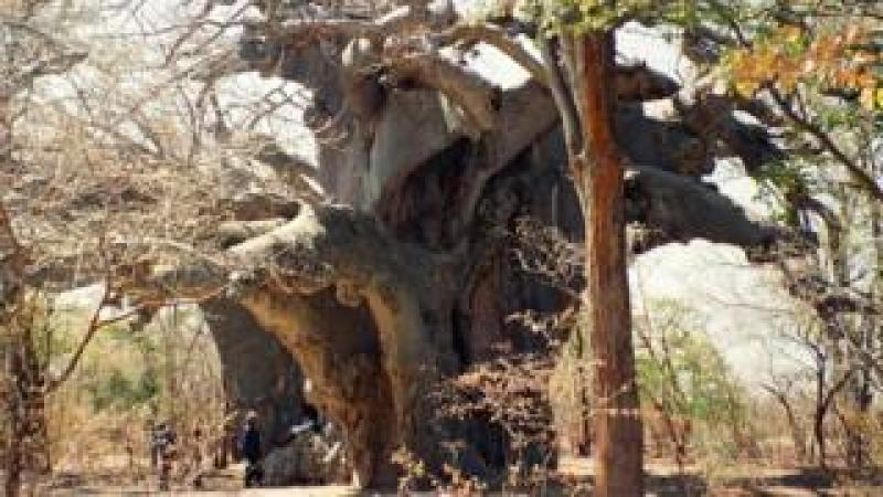 Panke, the oldest known African baobab, in 1997