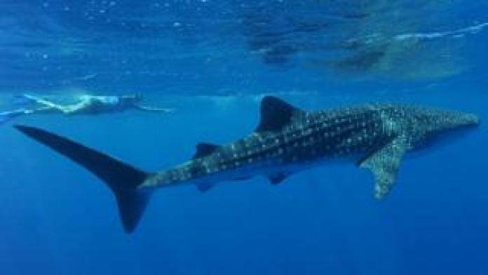 A woman swims next to a whale shark in Ningaloo Reef