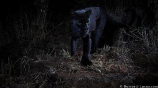 A black leopard captured in the wild