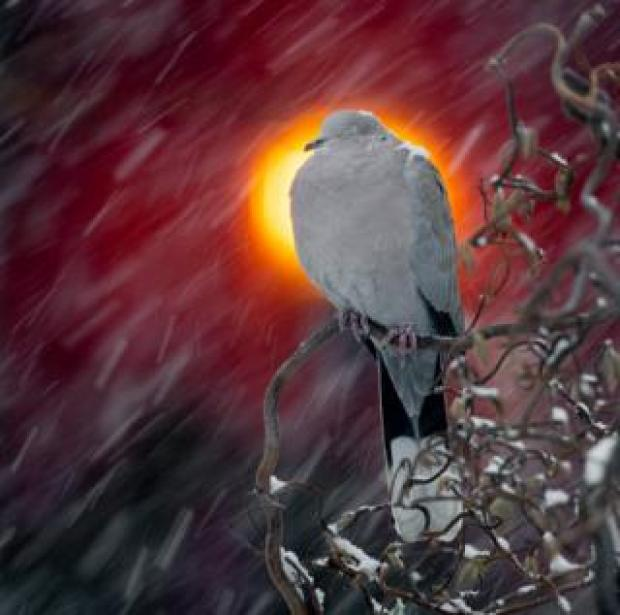 A dove sits on a branch with snow on its head and wing