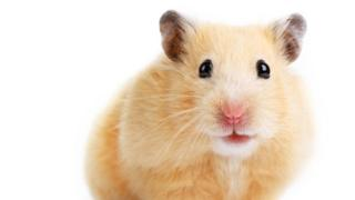 game of thrones hamsters
