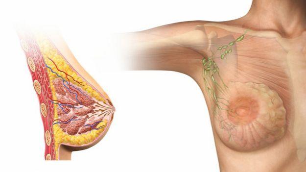 Ilustración de las glándulas mamarias y conductos