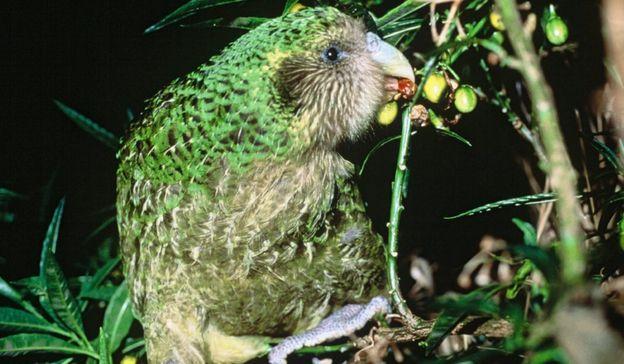 Trevor the kakapo feeding on some fruit